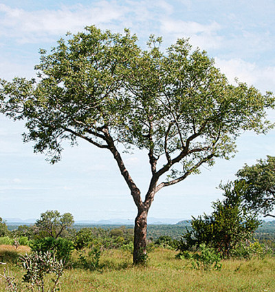 Marula tree, photo by Brett Hilton-Batber